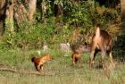 Wild Dogs hunting a female Sambar.